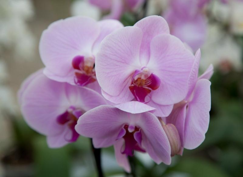 Orchideraie Vacherot